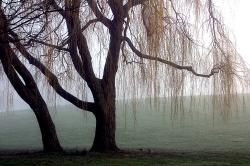 Weeping Willow Kastrup Denmark