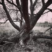 Old tree fælleden Denmark