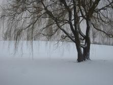 Weeping Willow Kastrup Denmark Winterscene