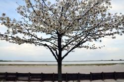 Cherry Tree Amager Strandvej Denmark